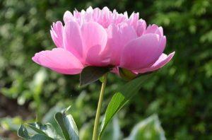 Virágesszencia